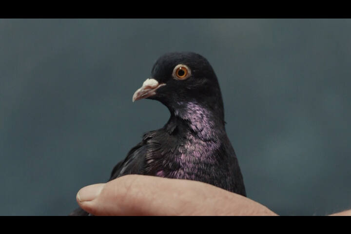 Molson Coors - Carling - Pigeons